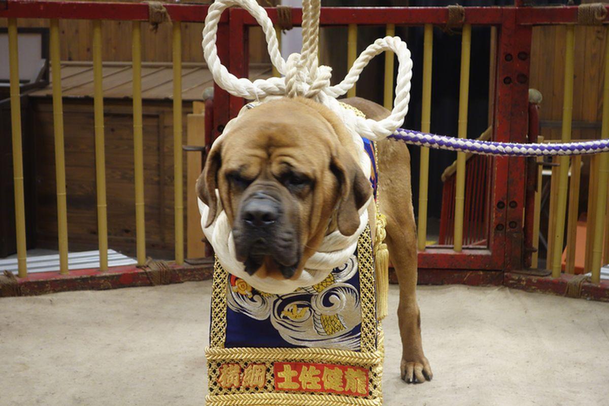 高知闘犬11
