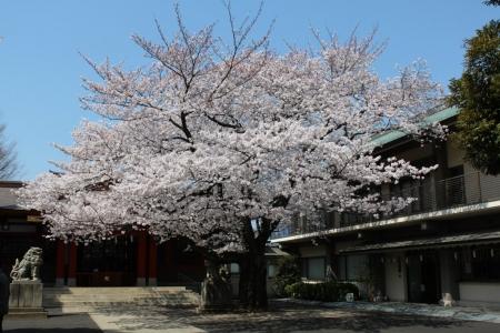 神社の桜2