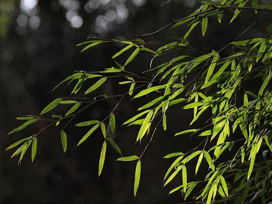 竹の葉20150125