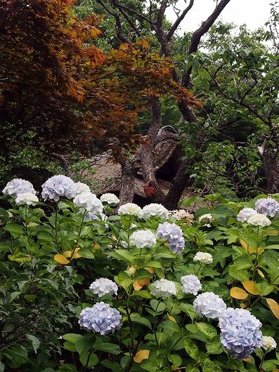東慶寺の紫陽花04-20150621