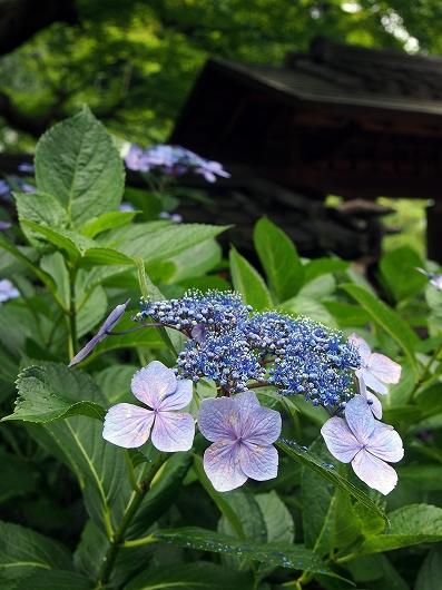 東慶寺の紫陽花07-20150621