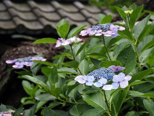 東慶寺の紫陽花24-20150621
