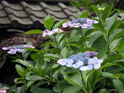 東慶寺の紫陽花25-20150621