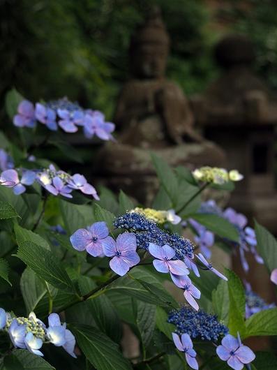 東慶寺の紫陽花28-20150621