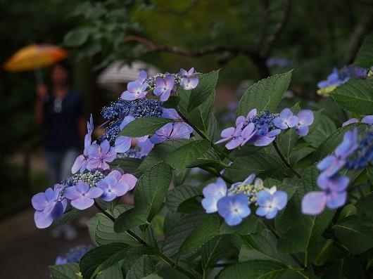 東慶寺の紫陽花31-20150621
