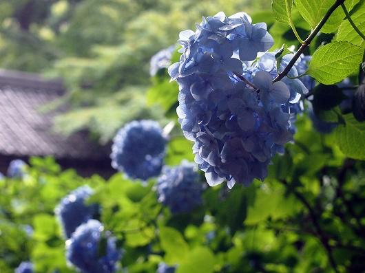 明月院の紫陽花01-20150621