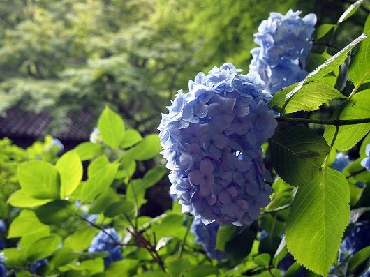 明月院の紫陽花02-20150621