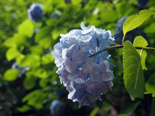 明月院の紫陽花04-20150621
