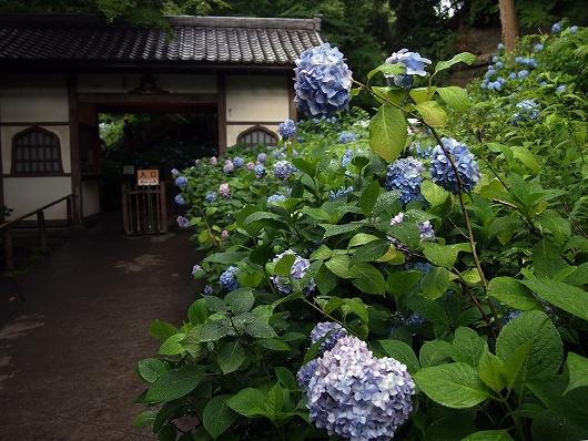 明月院の紫陽花06-20150621