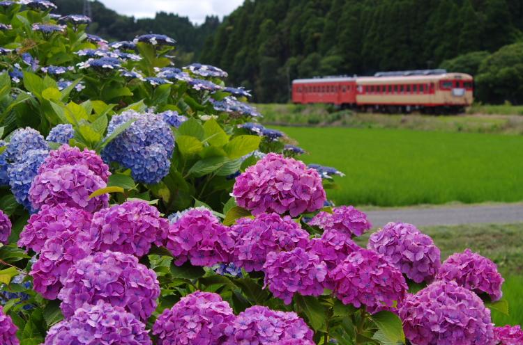 2015年6月21日 小湊 いすみ あじさい 9122