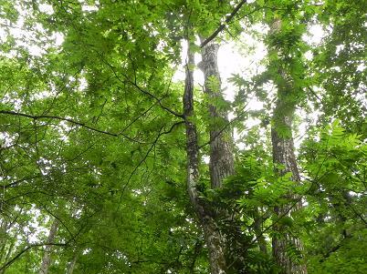 シオジの幼木