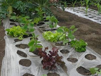 枝豆の植え付け