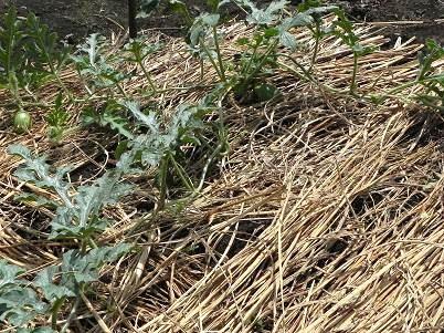 スイカの栽培
