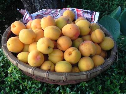 アンズの果実
