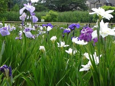 4北山公園菖蒲園