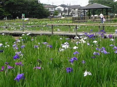 北山公園菖蒲園1