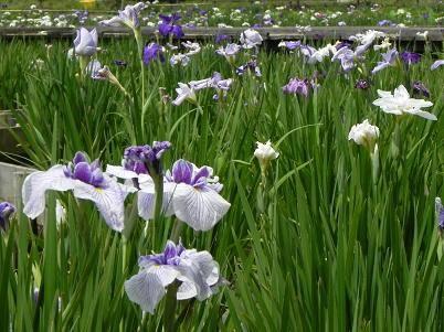 北山公園菖蒲園3