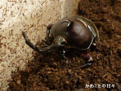P1220831-kabu.jpg