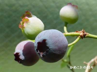 P1230219-berry.jpg
