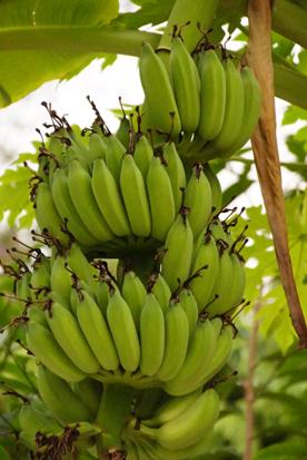 2 バナナ