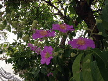 バンコクの花