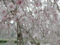 八重桜はやさしい感じ