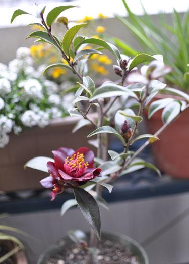 150309_camellia.jpg
