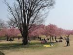 小山の半分だけの桜