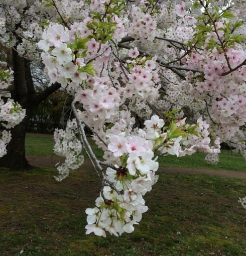 お気に入りの桜。