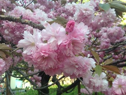 4172015八重桜S4