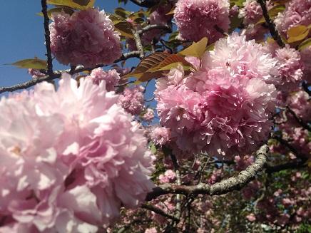 4172015八重桜S7