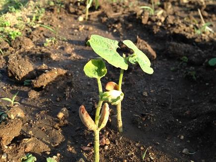 5052015モロッコ豌豆S1