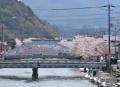 舞鶴の桜3