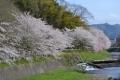舞鶴の桜2