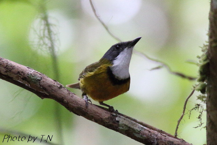 New Caledonian Whistler (Parc des grandes fougères, Farino, New Caledonia 2014/11/13)