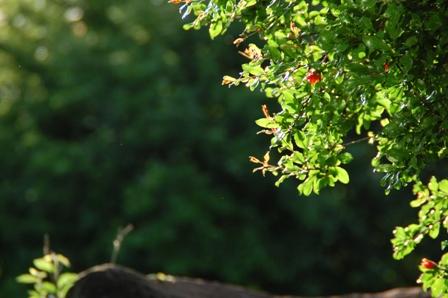 ざくろの木