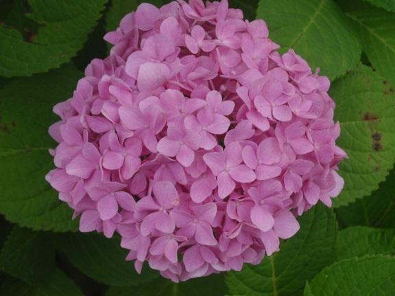 aji紫陽花ピンク