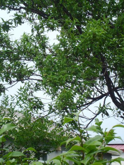実の成る木