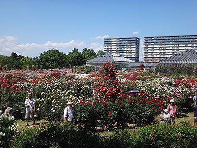 rose201505a.jpg