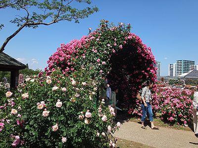 rose201505c.jpg