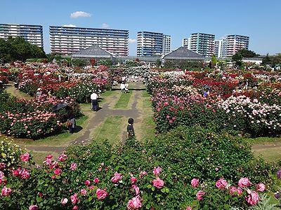rose201505i.jpg