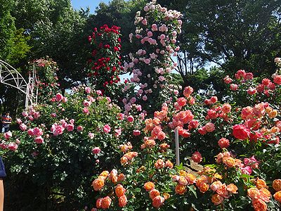 rose201505l.jpg