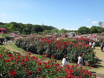 rose201505m.jpg
