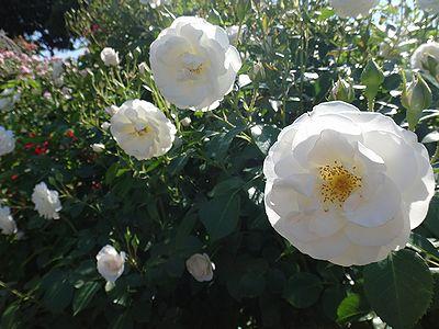 rose201505n.jpg