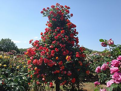 rose201505p.jpg