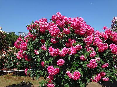 rose201505r.jpg