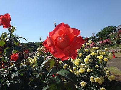 rose201505v.jpg