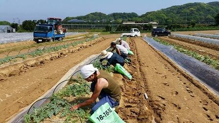 すいか畑 (2)