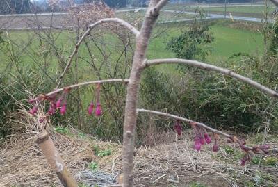 20150405枝垂桜