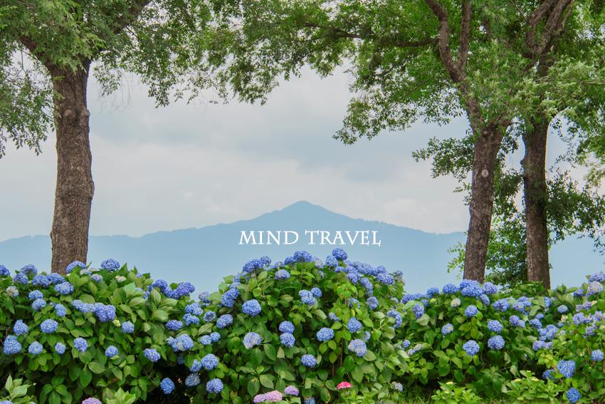 もりやま芦刈園 紫陽花 比叡山